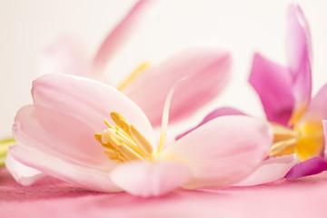 Rosa Tulpen (Tulipa) - freigestellte Blüten für den Wellnessbereich und als Ostergruß