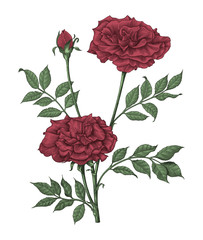Roses hand drawing vintage engraving illustration on white background