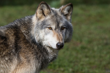 Wolf In Woodland