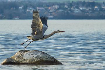Great grey heron take-off
