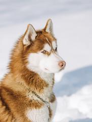 blue eyed husky brown dog sits snow background