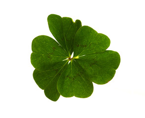 Six-leaf clover isolated over white