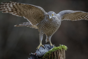 Female northern goshawk
