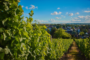 vineyards near Mainz, Germany in the summer with smal grapes on it, focus left on the green vine stock