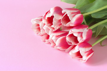 Red tulips with white border on pink background.