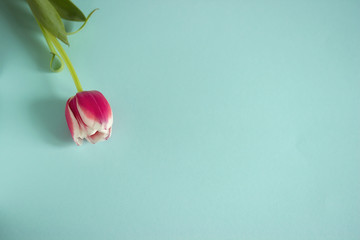 Purple tulip with white border on blue background.