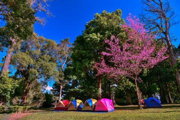Wild Himalayan Cherry Chiang Mai , Thailand - January 18, 2018: Thai people is coming to see Sakura blossom at Chiang Mai Royal Agricultural Research Centre (Khun Wang), Khun Wang Royal Project
