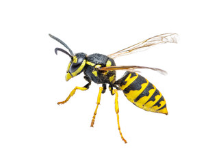 Yellow Jacket Wasp Insect Isolated on White
