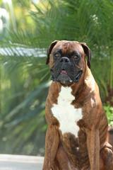 Portrait of a happy Boxer Dog Sitting
