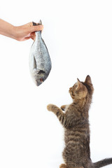 Little kitten looking at dorado fish which gives it a woman's hand on a white background