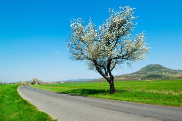blossoming roadside cherry tree