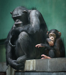 Two chimpanzee apes, adult and young, sit in a cage with unhappy expression on their faces