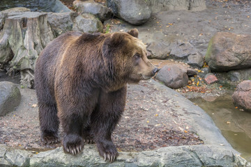 Large brown bear stands on stones near a water/ lake, close-up
