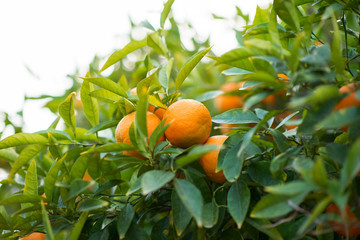 Mandarin tree with ripe fruits. Mandarin orange tree. Tangerine. Branch with fresh ripe tangerines and leaves image. Satsuma tree picture.
