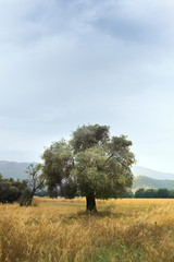 Single olive tree in the field with cloudy sky.