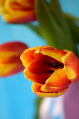 Close up of a red tulip on blue background