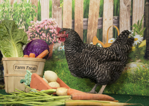 Plymouth Rock barred hen chicken with basket of farm fresh vegetables and spring flowers in bloom