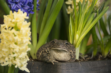 Toad frog with jewel-like black and golden eyes burrows in among spring blooming flowers