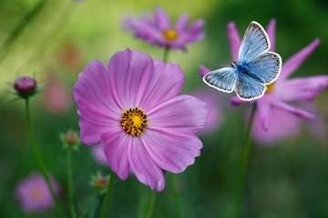 The blue butterfly Lycaenidae family flying among pink cosmos flowers with blurred flowers and green background