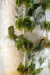 flower frozen in ice