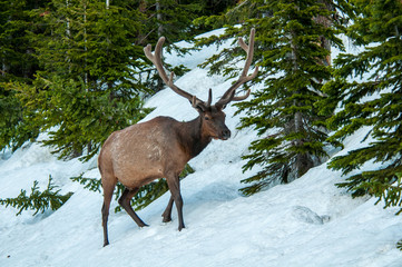 An Elk in the Snow