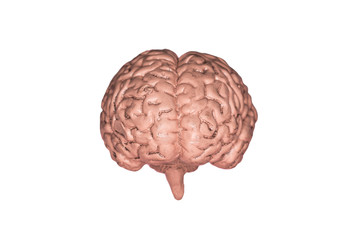 A human brain. Part of anatomy human body model with organ system.