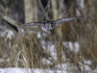 Northern Hawk Owl in Flight