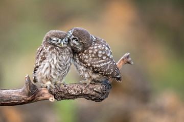 Fototapete - Two little owls (Athene noctua) sitting in pairs on a stick