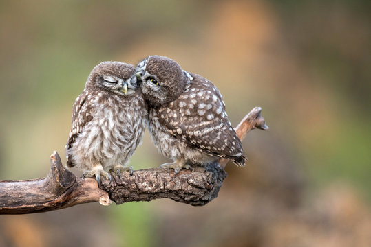 Two little owls (Athene noctua) sitting in pairs on a stick