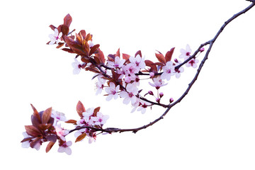 Cherry blossom branch isolated on white