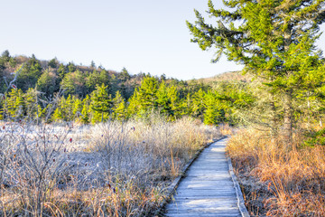 Frost white winter landscape with bushes, boardwalk and morning orange sunlight in Cranberry Wilderness glades bog, West Virginia and ice covered plants
