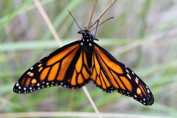 Danaus plexippus, Monarch Butterfly