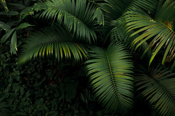 Top view of palm tree and tropical rainforest foliage plant leaves growing in wild, green nature dark background.