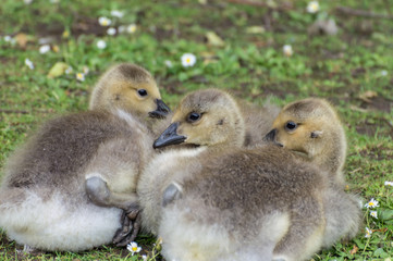 A closeup profile shot of canada geese goslings lying on the green grass which is covered in daisies.