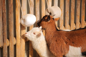 Goats in warm sunlight at a fence with salt lick