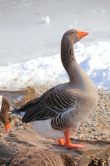 Side view of a greylag goose (Anser anser)