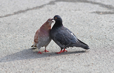 spring love and kisses of pigeons