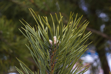 Close-up of a spruce branch with a cone