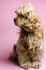 Cocker spaniel on a pink background