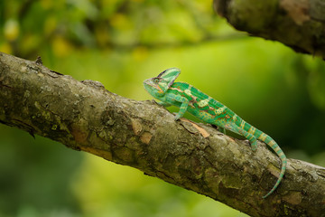 Beautiful colorful veiled chameleon on tree branch