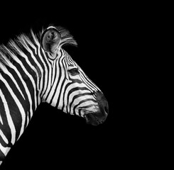 Wall Mural - Wild African Zebra with a black background