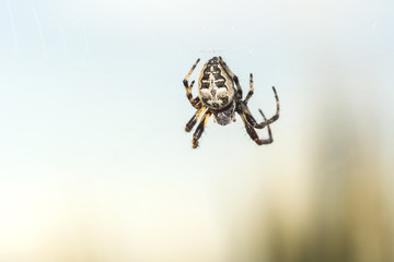 European garden spider, Araneus diadematus, cross spider