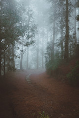 Road in a mysterious pine forest. Rainy and misty weather near Cova crater on Santo Antao Island, Cape Verde
