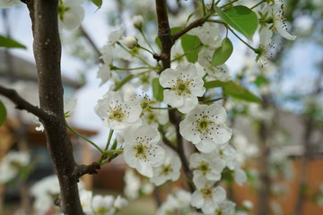 Close up view of a blooming pear fruit tree with some green leaves near Dallas, Texas during spring time