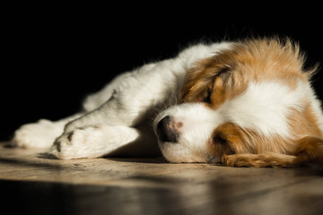 a cute white puppy with beige ears, sleeping sweetly on a wooden floor in the warm sunshine