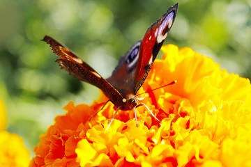 Macro of butterfly collecting nectar on marigolds