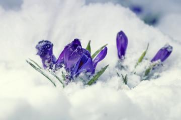 Blossom Crocus Flowers in Snow