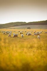 Fond de hotte en verre imprimé Sheep Herd of sheep on a meadow in the sunset light near Altringen, Timis county, Romania