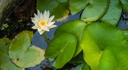 white lotus bloom rising straight up from the pond with green leaves