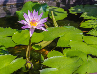 pink lotus bloom rising straight up from the pond with green leaves